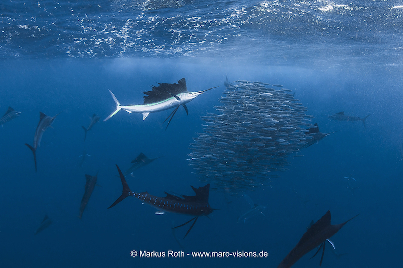 "Sailfish at work: The outer fish round up the sardine shoal to a ball and the last ""attacker"" hit out."