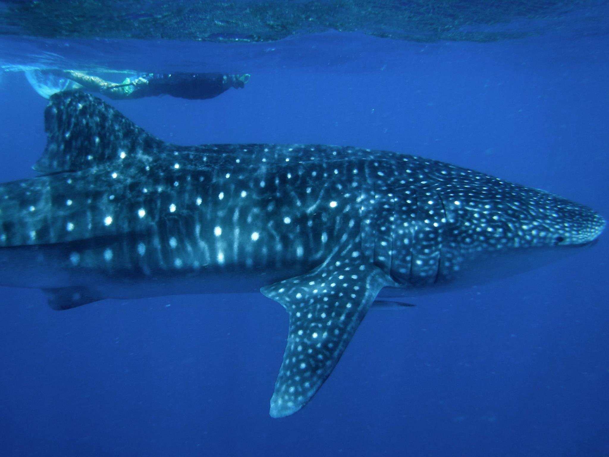 Schwimmen-mit-Walhai-Malediven