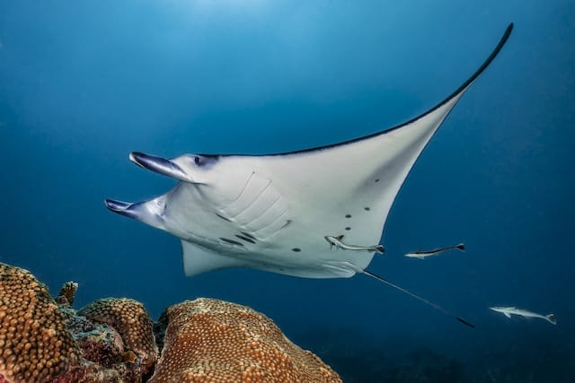 Manta – German Channel - Palau