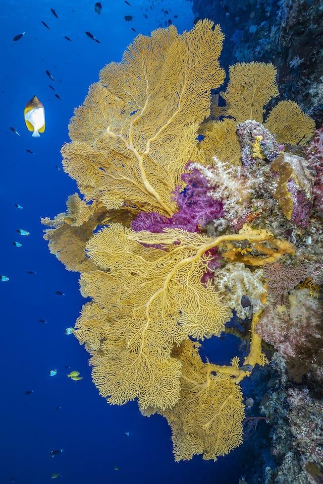 Fächerkoralle – Peleliu Wall - Palau